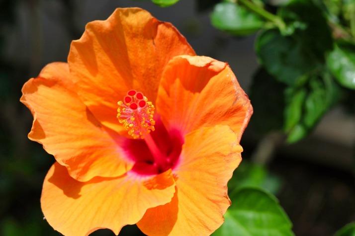 hibiscus-3128647_1280