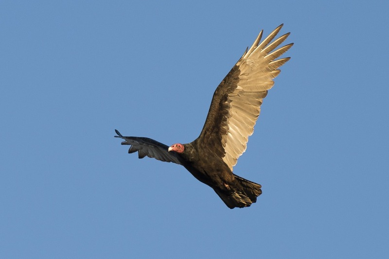 Imagine the world without vultures, dead and smelly animals rotting on the side of the road.